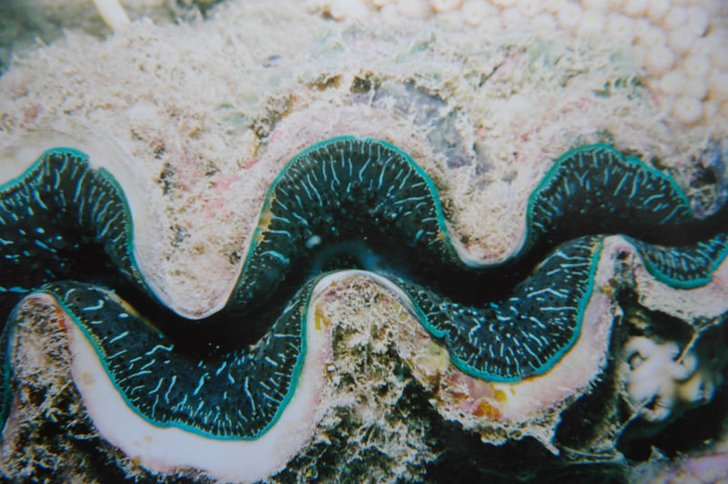 Black Giant Clam.jpg
