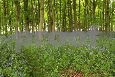 Bluebells Badbury Clump