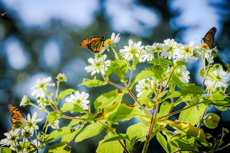 Monarch Butterflies 2 (1 of 1).jpg