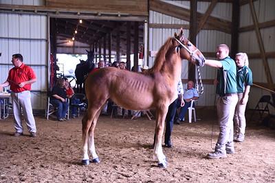 Belgian Stud Foal