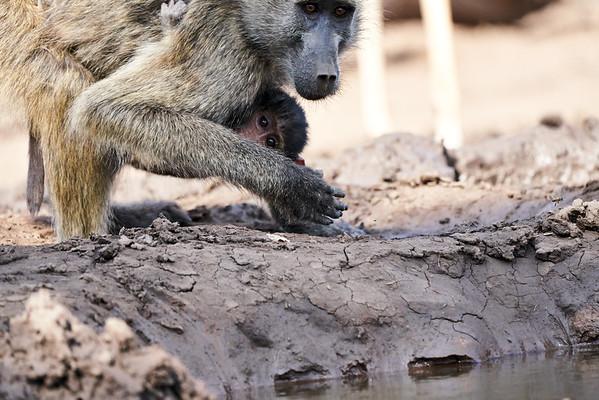 Baby Baboons Brought to and Drinking Mashatu Botswana 2019