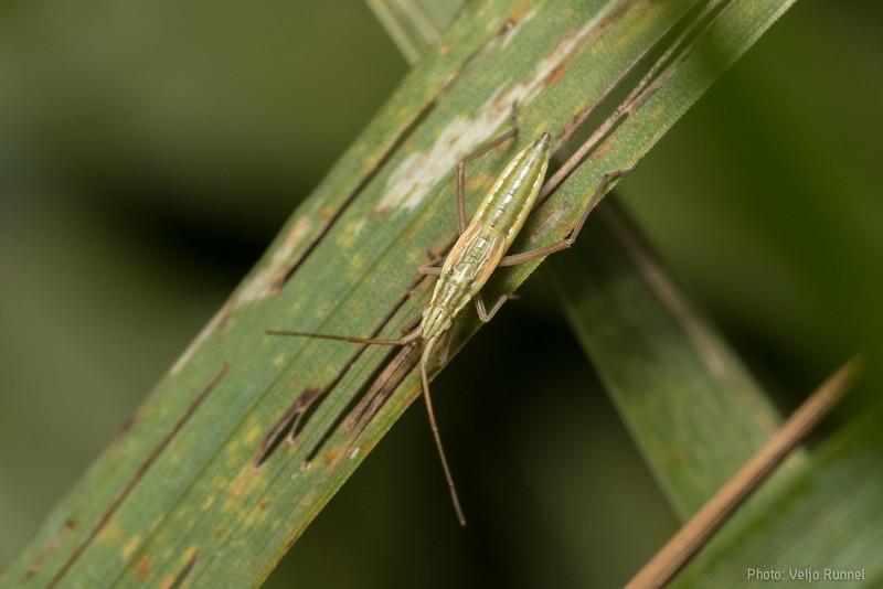 Trigonotylus fuscitarsis