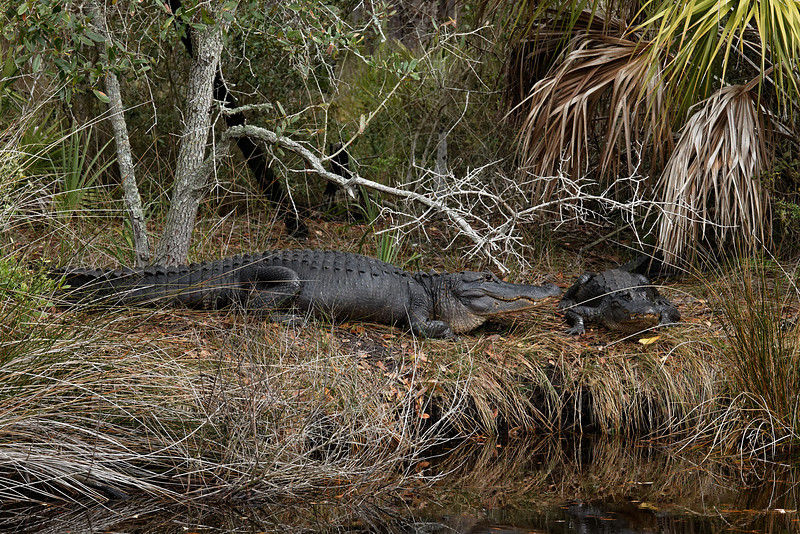 American Alligators - A large 12'+ male and his mate rest in the sun