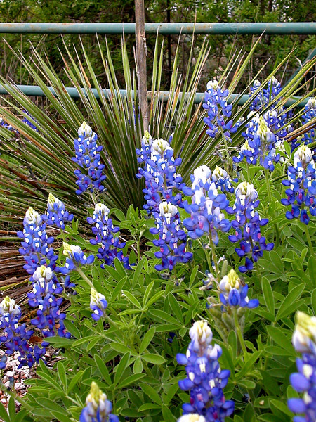 Bluebonnets and yucca edited.jpg