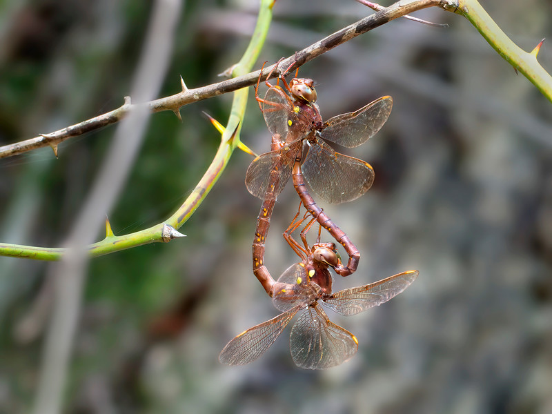 Fawn Darner (Boyeria vinosa), Pair in wheel