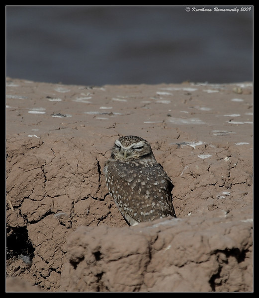 Burrowing Owl, by the lake on the south side of Calipatria State Prison, Salton Sea, Imperial County, California, November 2009