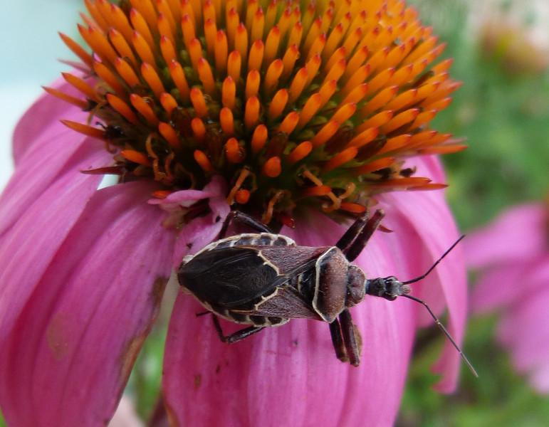 P125ApiomerusSpissipesBeeAssassin849 Apr. 4, 2013  10:01 a.m.  P1250849 This is another Bee Assassin, Apiomerus spissipes, at Lady Bird Johnson Wildflower Center.  Reduviid.