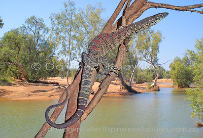 Australian Lizards Varanidae (Goannas, Monitors)