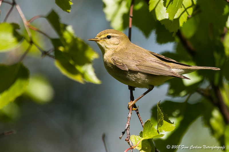 Gransanger - Phylloscopus collybita - Common chiffchaff