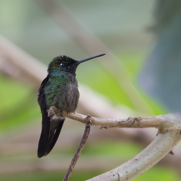 Black-bellied Hummingbird - Male - Savegre, Costa Rica