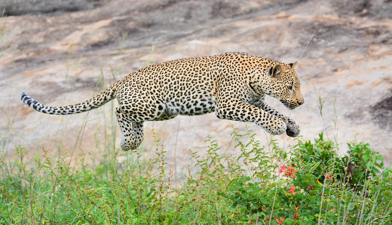 Wildlife (Leopard)