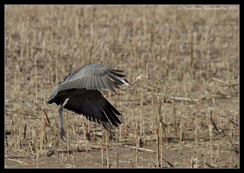 Sandhill Crane landing, Bosque Del Apache, Socorro, New Mexico, November 2010