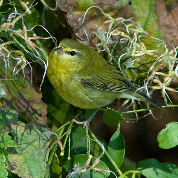 Tennessee Warbler  An adult in fall plumage, also at Dyke Marsh