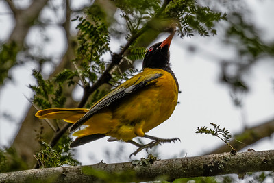 Black-headed Oriole - Bjergpirol