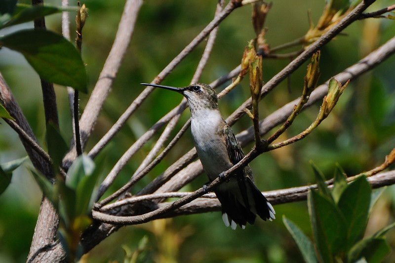 The hummingbird migration is in full swing.  We are seeing hundreds of them each day.