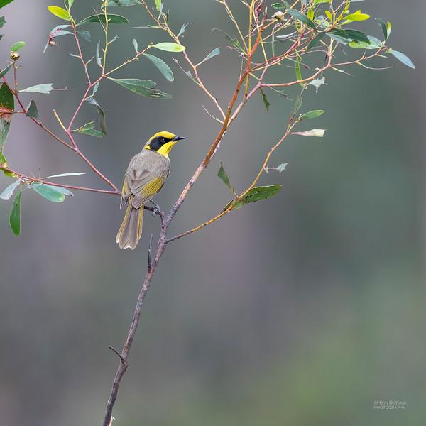 Yellow-tufted Honeyeater, Wangaratta, VIC, Oct 2018-1.jpg
