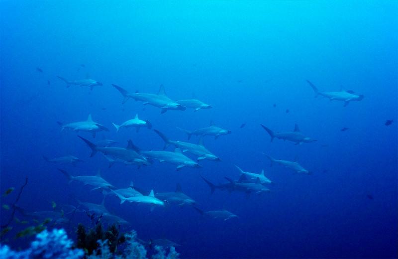 Bogenstirn-Hammerhai, Sudan, Rotes Meer / Scalloped Hammerhead Sharks, Sudan, Red Sea, Sphyrna Lewini