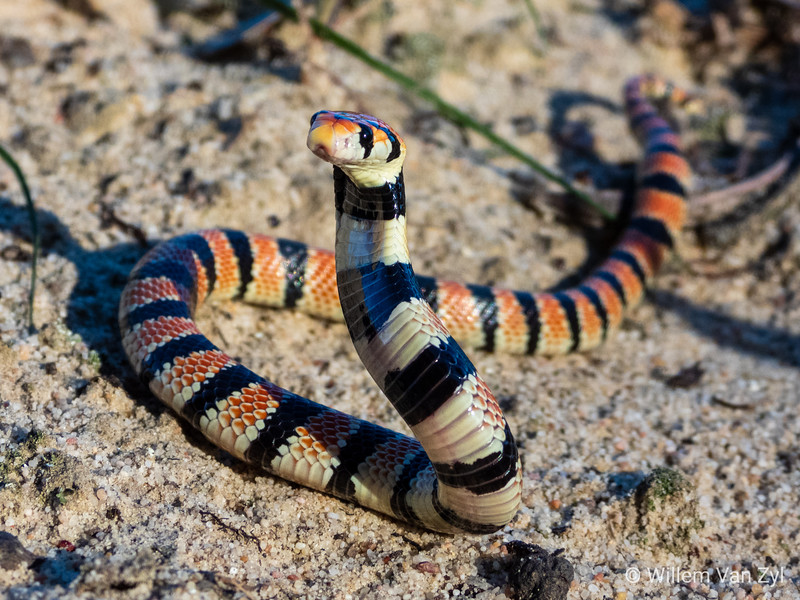 20190615 Coral Shield Cobra (Aspidelaps lubricus) from Malmesbury, Western Cape20190615 Coral Shield Cobra (Aspidelaps lubricus) from Malmesbury, Western Cape