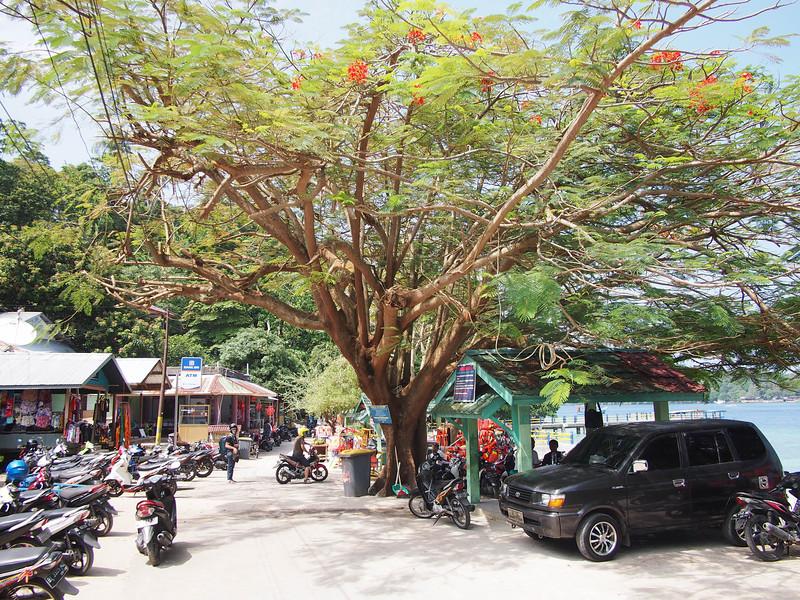 P1255680-big-tree-iboih.JPG