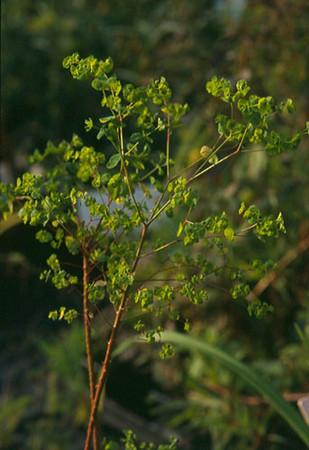 Euphorbia stricta.jpg