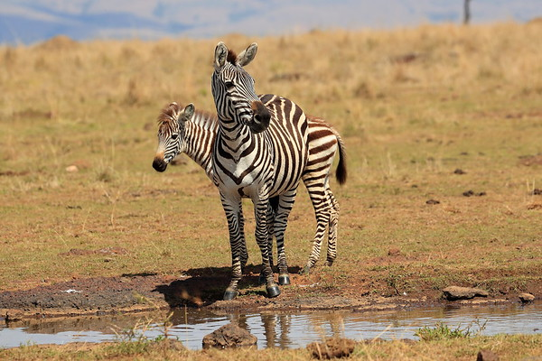 Zebra Kenya 2017