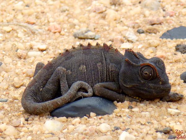 Tommy living desert: chameleon, Namibia