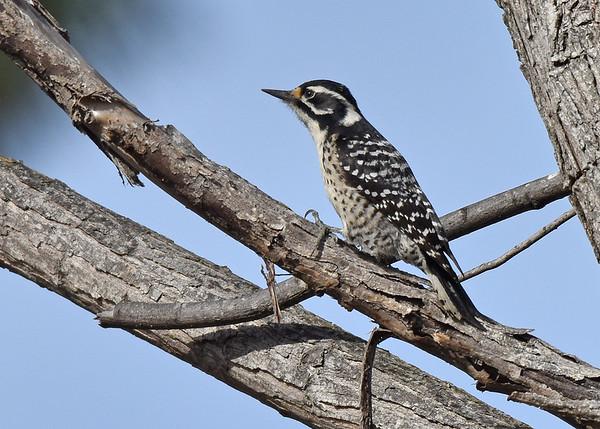 Woodpecker, Nuttall's