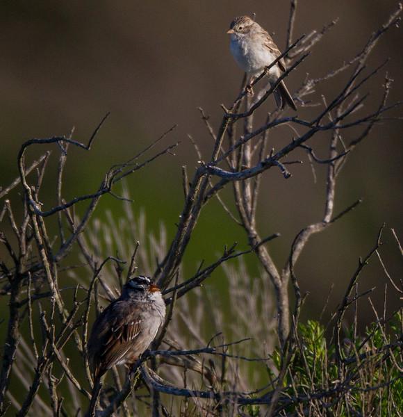 Brewer`s Sparrow White-crowned Sparrow   San Elijo Lagoon 2016 03 24-1.CR2