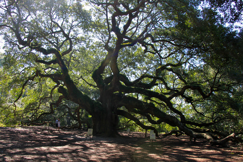Angel Oak Tree - Johns Island
