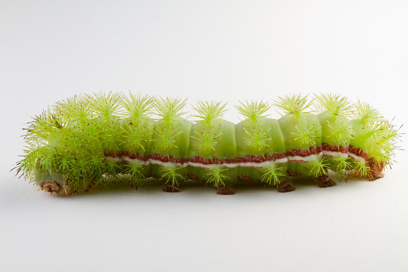 IO moth caterpillar on white background