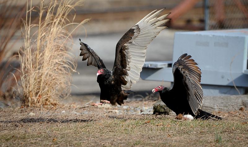 buzzards-4954.jpg