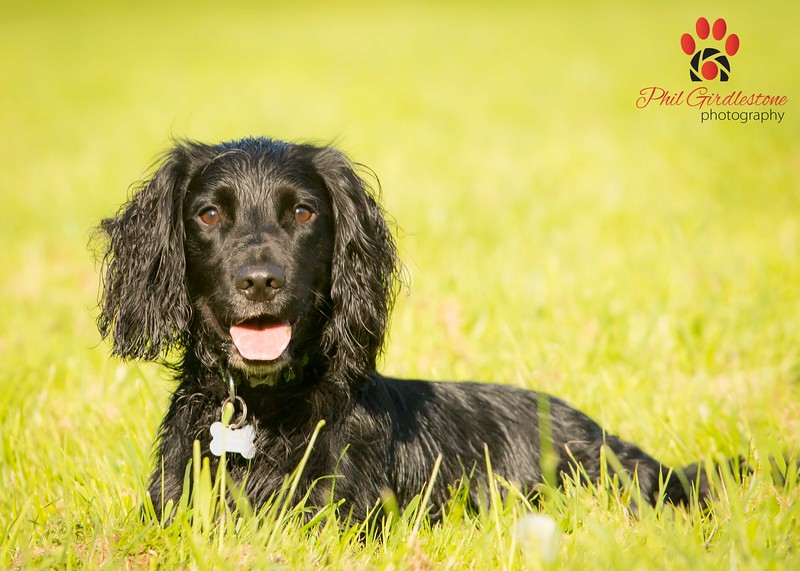Buddy - Dog Photographer Bristol - 31 Breeds in 31 Days