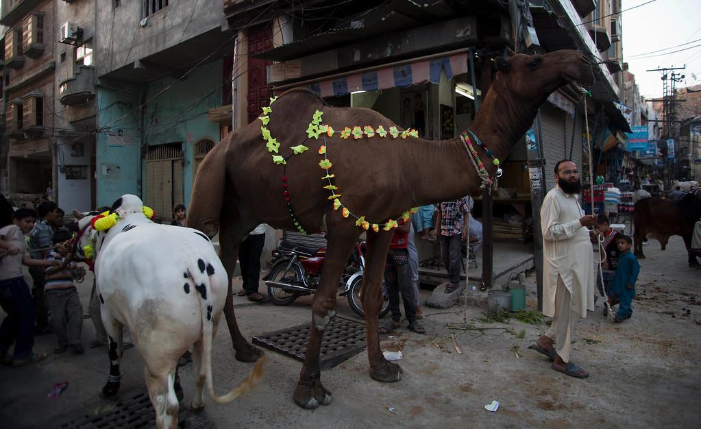 """. People take around their cattle they bought for the Muslim holiday of Eid al-Adha, or \""""Feast of Sacrifice,\"""" in Rawapindi, Pakistan, Tuesday, Oct. 15, 2013.  (AP Photo/B.K. Bangash)"""