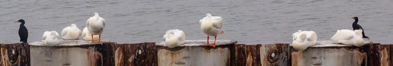 2 Cormorants join 8 White Pelicans
