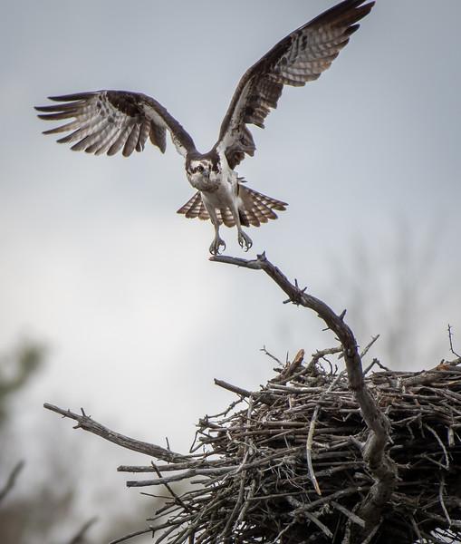 Osprey female repositioning