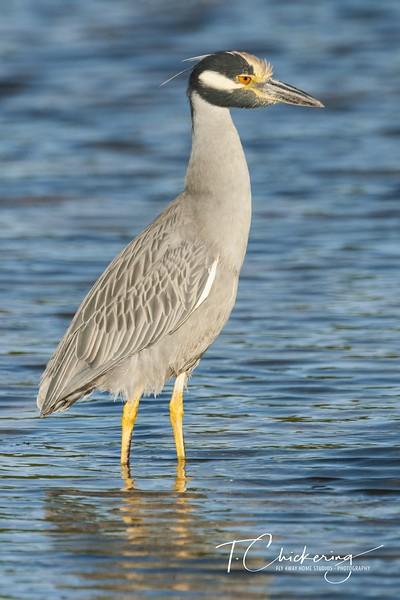 Yellow Crowned Night Heron 012019-1548017390420.jpg