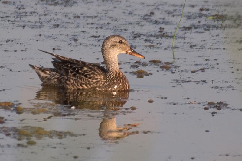 19-Sept North America Birds-3919.JPG
