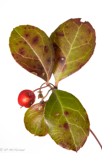 American Wintergreen (Gaultheria Procumbens) fruit