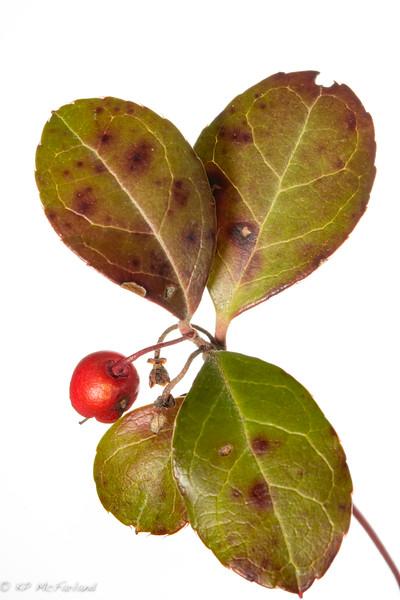American Wintergreen (Gaultheria Procumbens) fruit