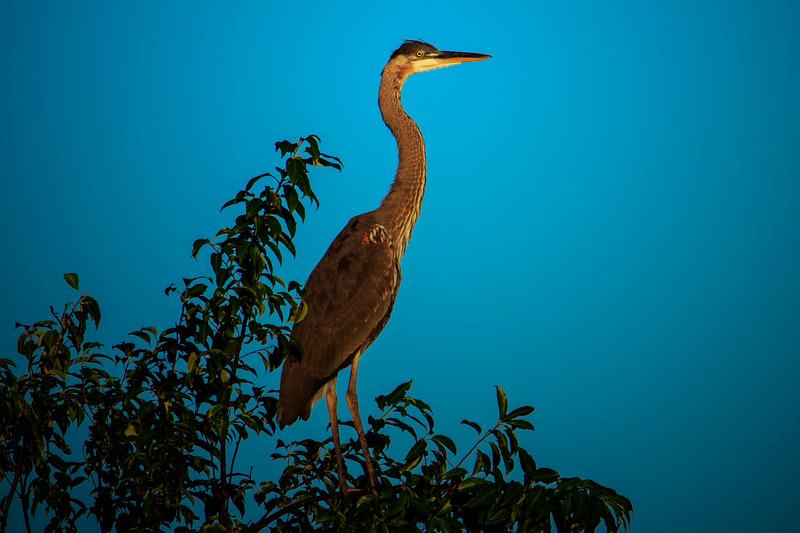 6.22.18 - Blackburn Creek Fish Nursery: Great Blue Heron