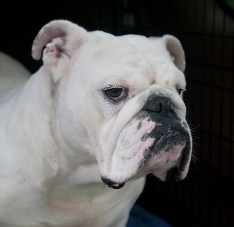 Bull Dog-7819