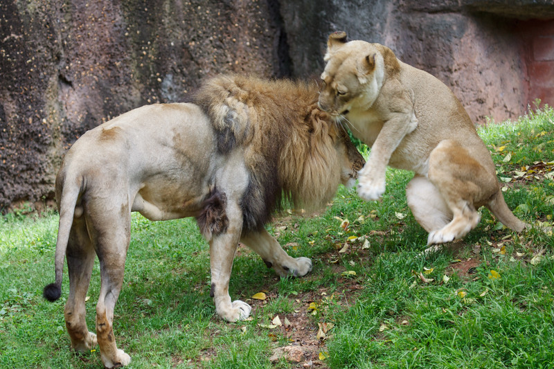 African lions