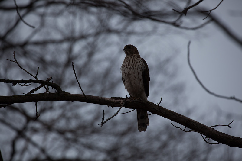 A young Cooper's hawk weighs its food options. A crow might be a tough target.