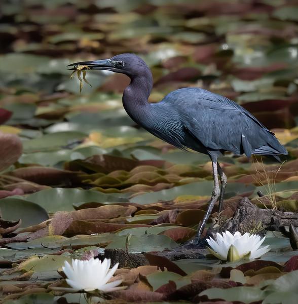 _5001412 Little Blue Heron and frog.jpg