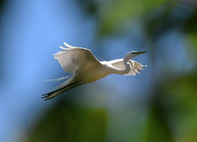 Exotic Great White Egrets