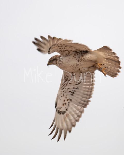 Ferruginous Hawk-64
