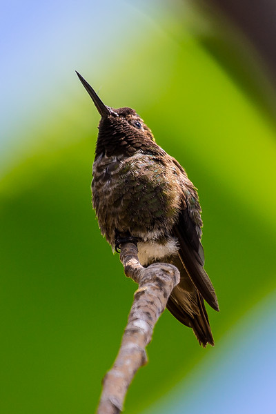 Hummingbirds, California, 2016