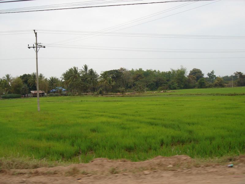lush green rice patty