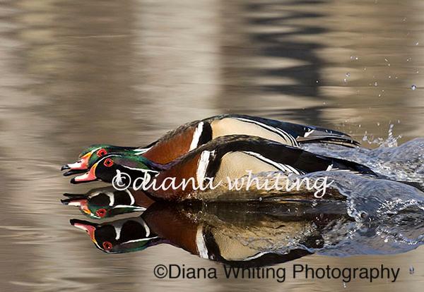 Wood Duck Males in Tandem 2nd place Audubon Winner 2010