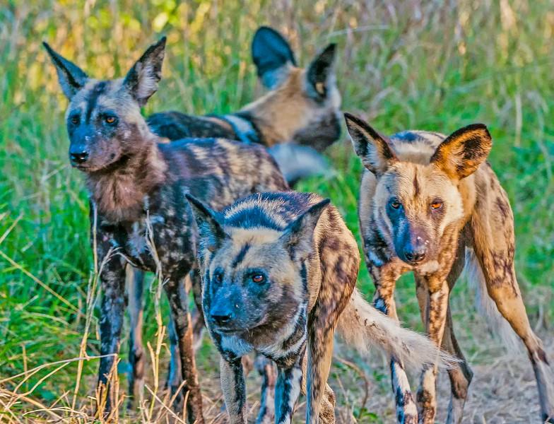 Wild Dogs-4.jpg